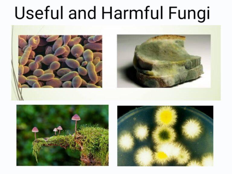 useful and harmful fungi